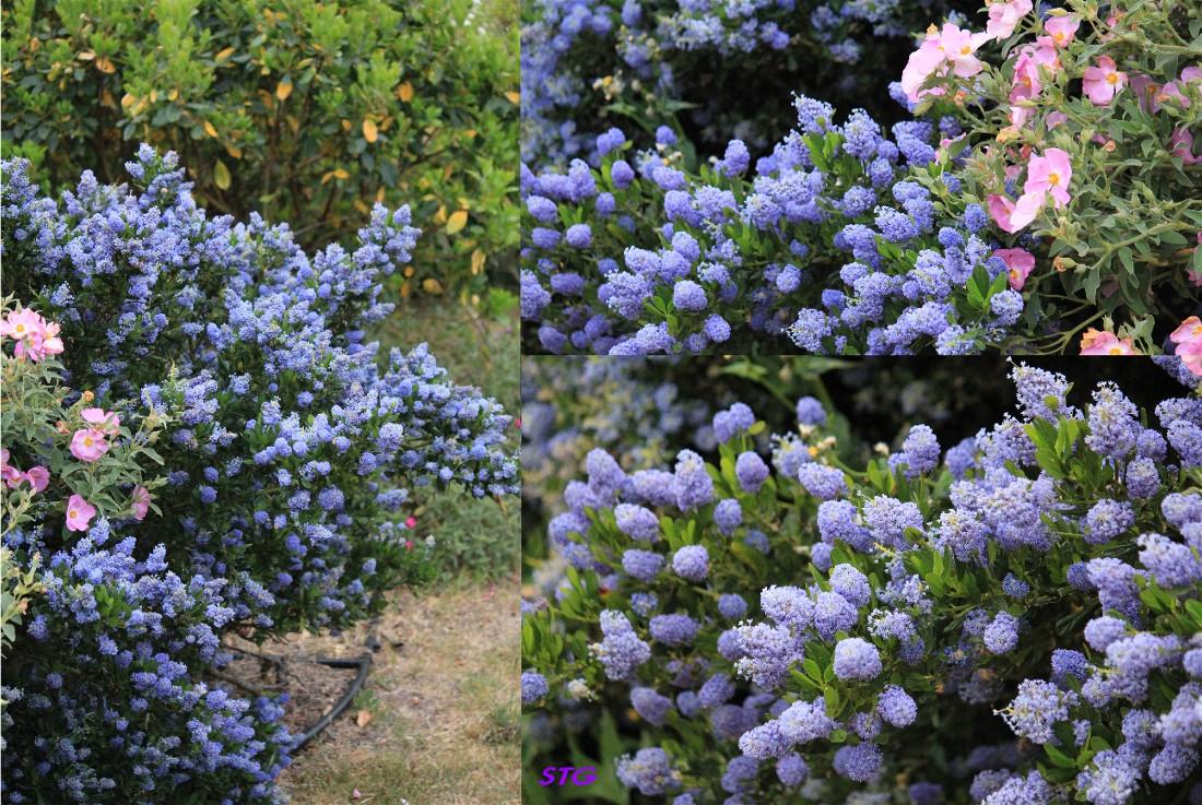 ceanothe bleu intense collection design inspiration pour le jardin et son compl ment. Black Bedroom Furniture Sets. Home Design Ideas
